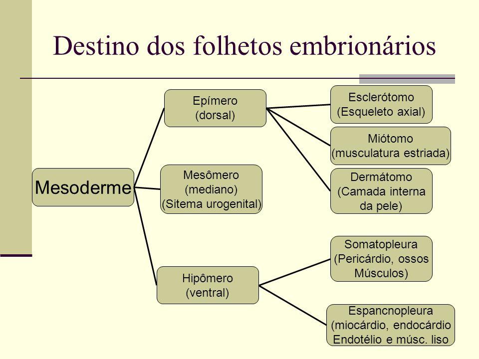 Destino dos folhetos embrionários Mesoderme Mesômero (mediano) (Sitema urogenital) Epímero (dorsal) Hipômero (ventral) Dermátomo (Camada interna da pe