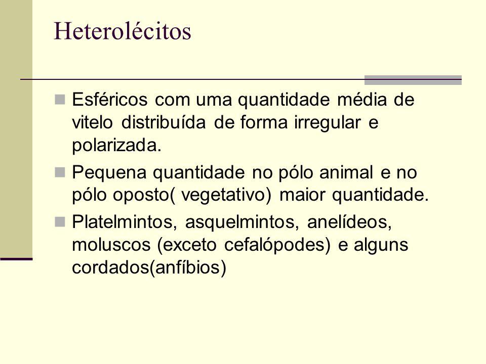 Heterolécitos Esféricos com uma quantidade média de vitelo distribuída de forma irregular e polarizada. Pequena quantidade no pólo animal e no pólo op