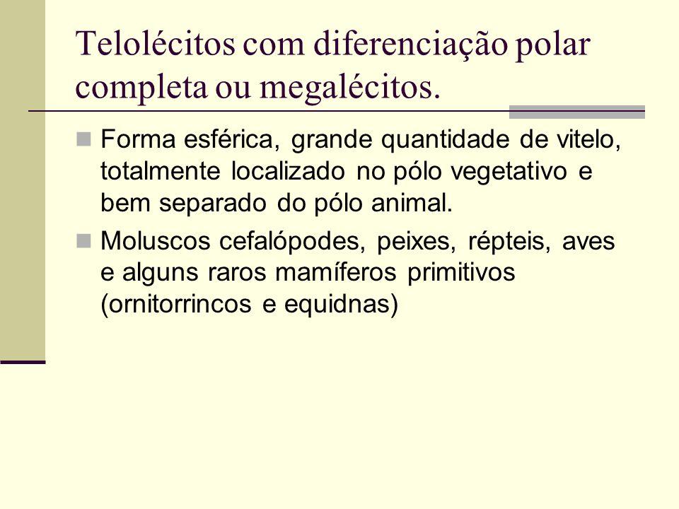 Telolécitos com diferenciação polar completa ou megalécitos. Forma esférica, grande quantidade de vitelo, totalmente localizado no pólo vegetativo e b