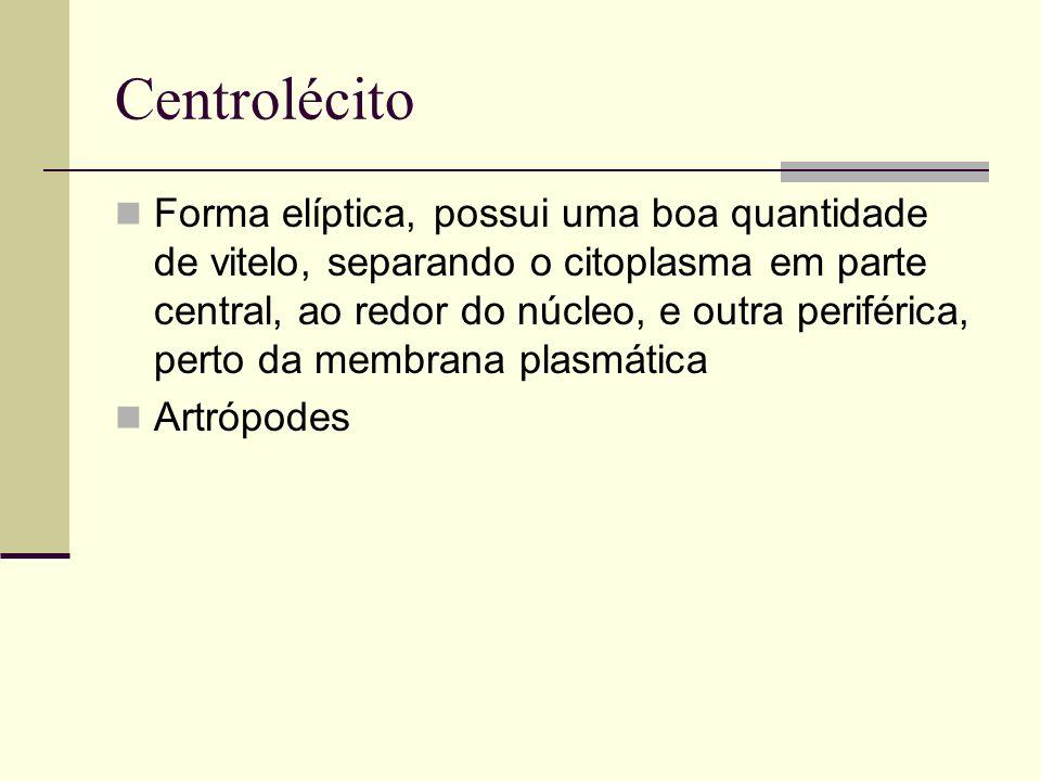 Centrolécito Forma elíptica, possui uma boa quantidade de vitelo, separando o citoplasma em parte central, ao redor do núcleo, e outra periférica, per