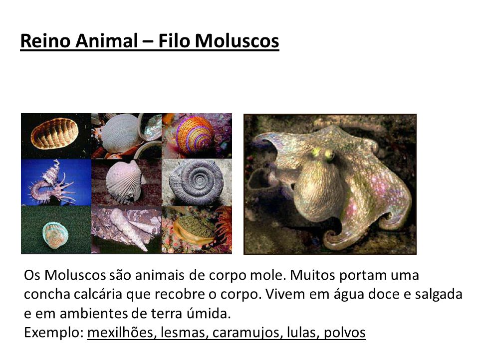 Reino Animal – Filo Moluscos Os Moluscos são animais de corpo mole. Muitos portam uma concha calcária que recobre o corpo. Vivem em água doce e salgad
