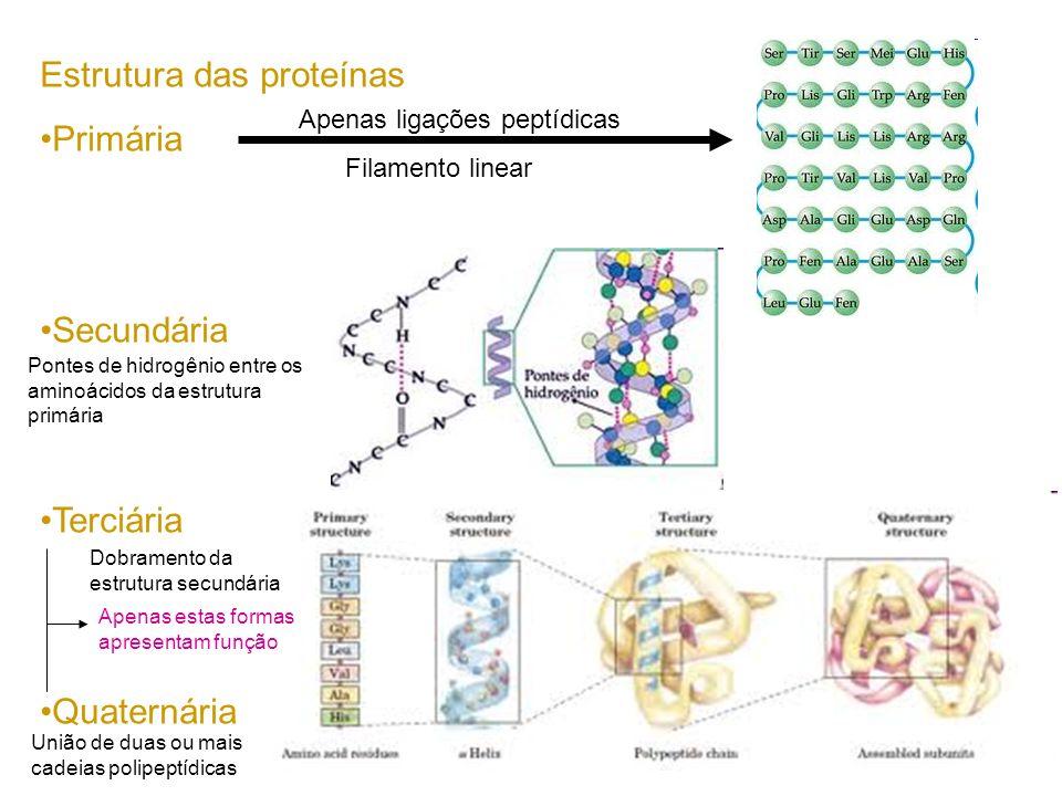 Estrutura das proteínas Primária Secundária Terciária Quaternária Apenas ligações peptídicas Pontes de hidrogênio entre os aminoácidos da estrutura pr