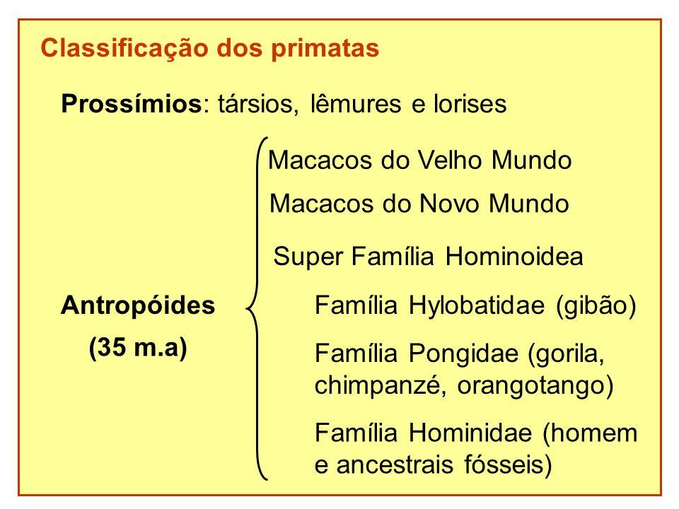Classificação dos primatas Prossímios: társios, lêmures e lorises Antropóides Macacos do Novo Mundo Super Família Hominoidea Família Hylobatidae (gibã