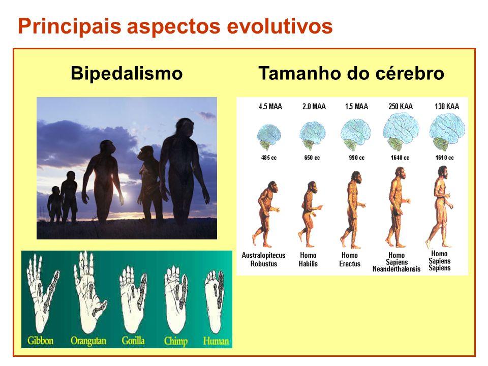 Bipedalismo Principais aspectos evolutivos Tamanho do cérebro