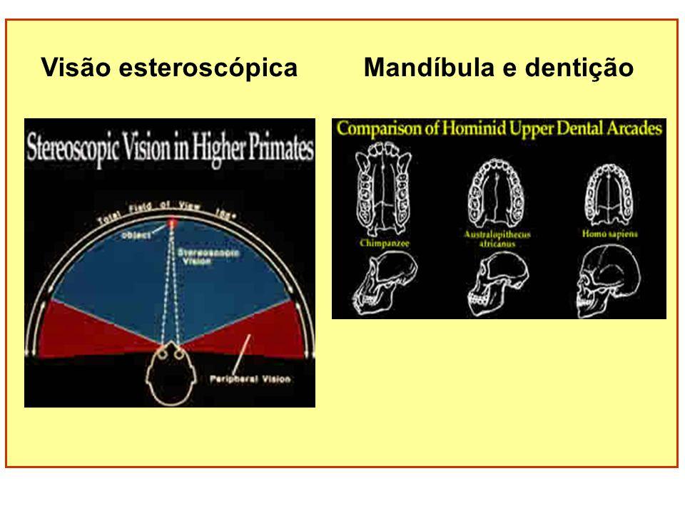 Visão esteroscópica Mandíbula e dentição