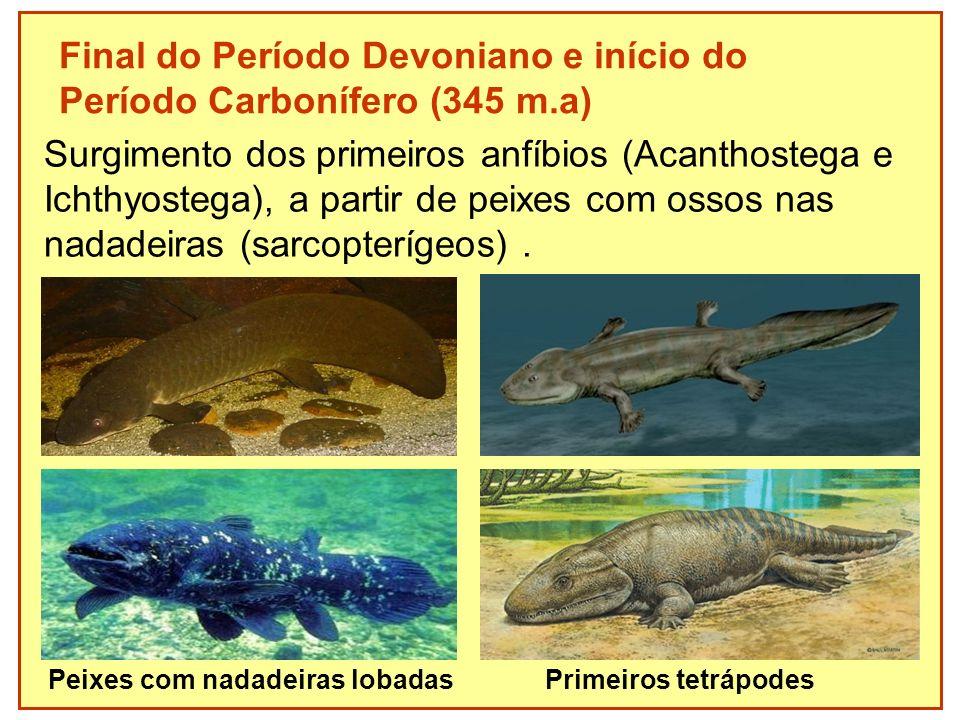 Final do Período Devoniano e início do Período Carbonífero (345 m.a) Surgimento dos primeiros anfíbios (Acanthostega e Ichthyostega), a partir de peix