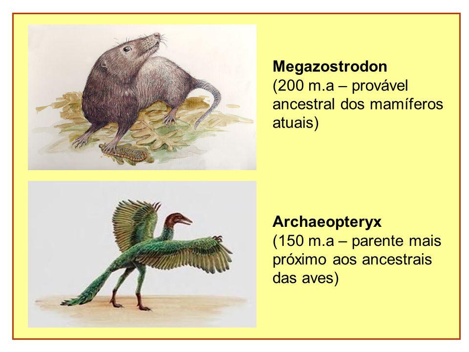 Megazostrodon (200 m.a – provável ancestral dos mamíferos atuais) Archaeopteryx (150 m.a – parente mais próximo aos ancestrais das aves)