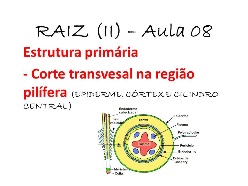 RAIZ (II) – Aula 08 Estrutura primária - Corte transvesal na região pilífera (EPIDERME, CÓRTEX E CILINDRO CENTRAL)
