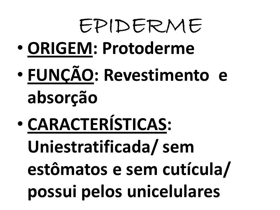 EPIDERME ORIGEM: Protoderme FUNÇÃO: Revestimento e absorção CARACTERÍSTICAS: Uniestratificada/ sem estômatos e sem cutícula/ possui pelos unicelulares