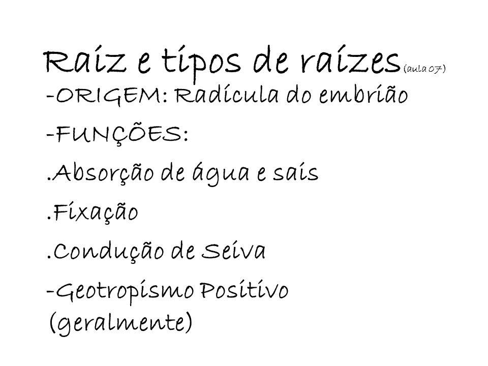 Raiz e tipos de raízes (aula 07) -ORIGEM: Radícula do embrião -FUNÇÕES:.Absorção de água e sais.Fixação.Condução de Seiva -Geotropismo Positivo (geral