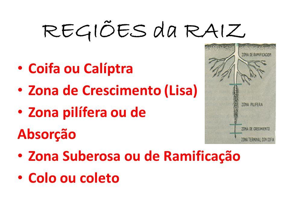 REGIÕES da RAIZ Coifa ou Calíptra Zona de Crescimento (Lisa) Zona pilífera ou de Absorção Zona Suberosa ou de Ramificação Colo ou coleto