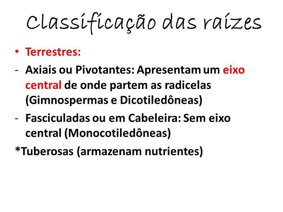 Aéreas: Crescem acima do solo (adventíceas são raízes que surgem do caule) - Suporte ou escora (Milho e Rizophora mangle) -Tabulares (árvores de grande porte como a figueira) -Cintura (epífitas) -Sugadoras ou Haustórios (Plantas parasitas: erva-de-passarinho [hemiparasita] e cipó- chumbo [holoparasita] ) -Estrangulante (sem relação de parasitismo) cipós e mata paus
