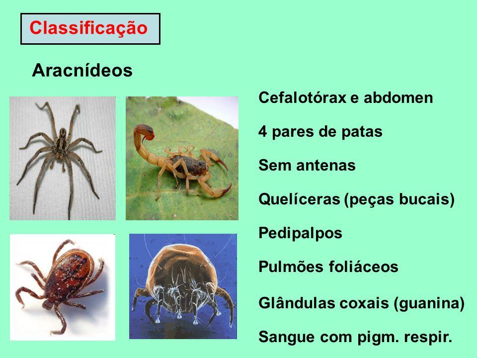 Classificação Aracnídeos Cefalotórax e abdomen 4 pares de patas Sem antenas Quelíceras (peças bucais) Pedipalpos Pulmões foliáceos Glândulas coxais (g