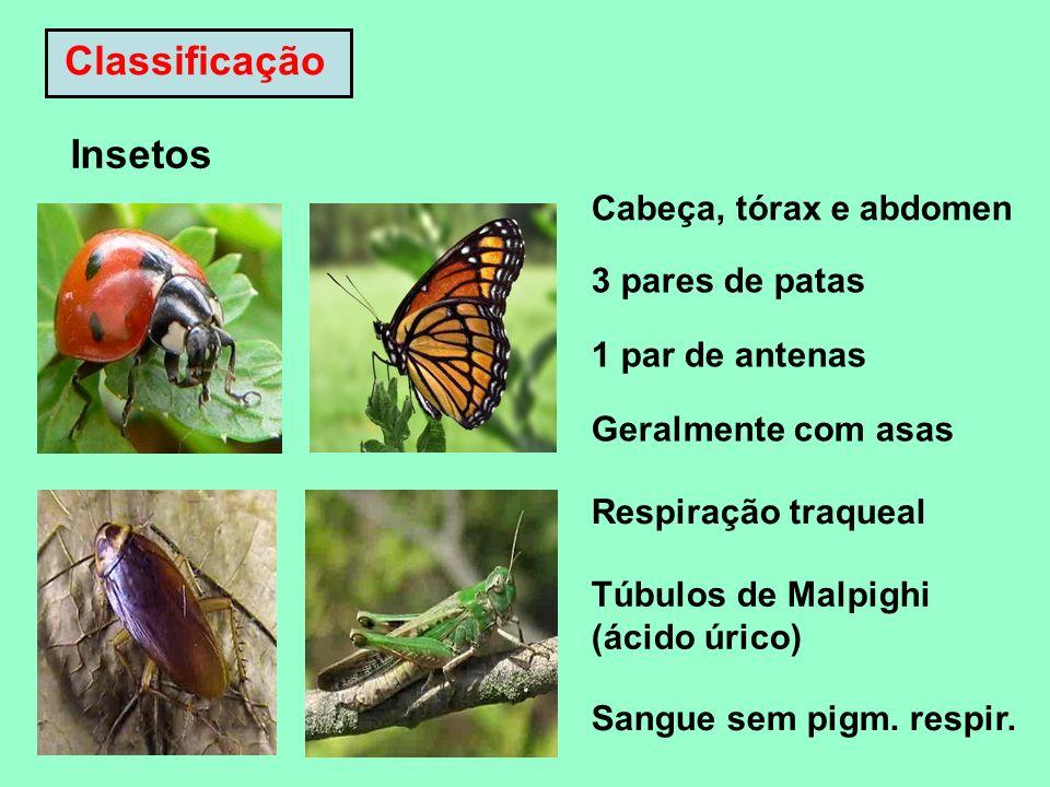 Classificação Insetos Cabeça, tórax e abdomen 3 pares de patas 1 par de antenas Geralmente com asas Respiração traqueal Túbulos de Malpighi (ácido úri