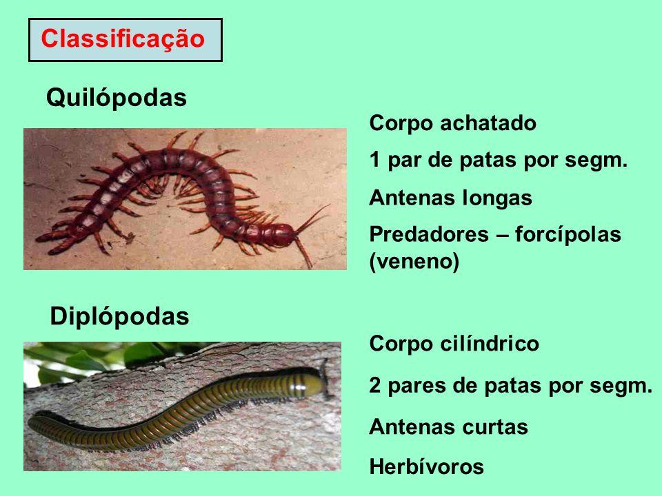Classificação Quilópodas Corpo achatado 1 par de patas por segm. Antenas longas Predadores – forcípolas (veneno) Diplópodas Corpo cilíndrico 2 pares d