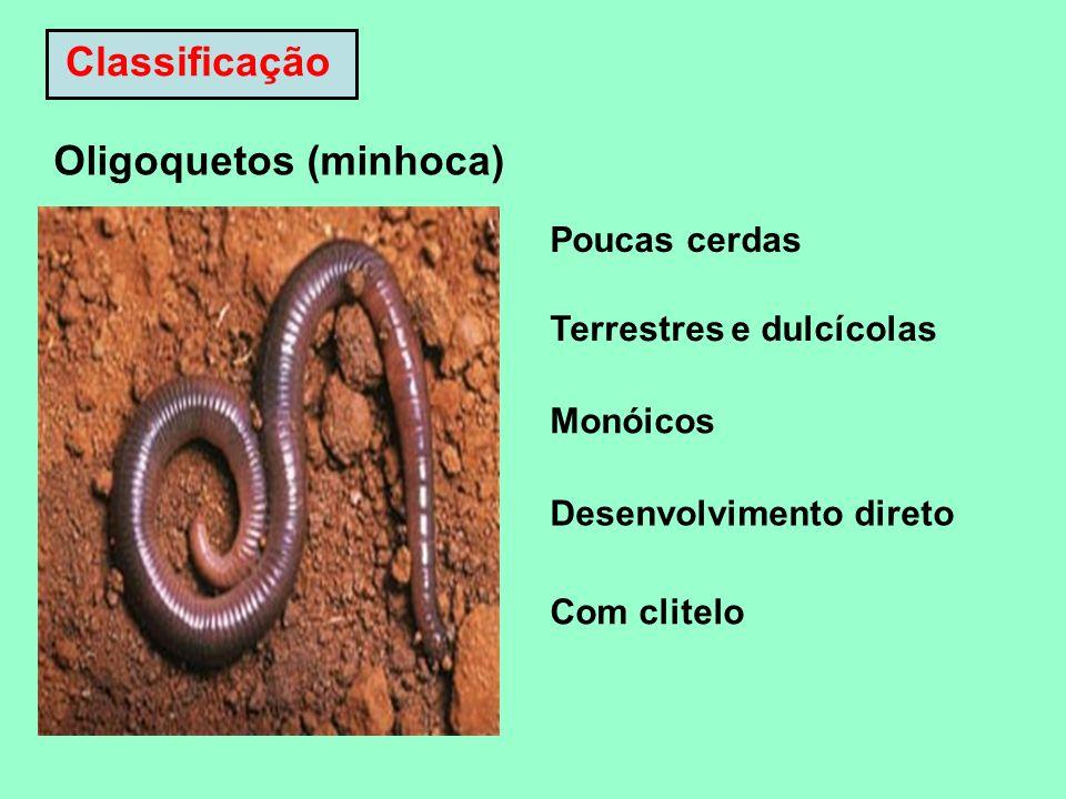 Oligoquetos (minhoca) Poucas cerdas Terrestres e dulcícolas Monóicos Desenvolvimento direto Com clitelo Classificação