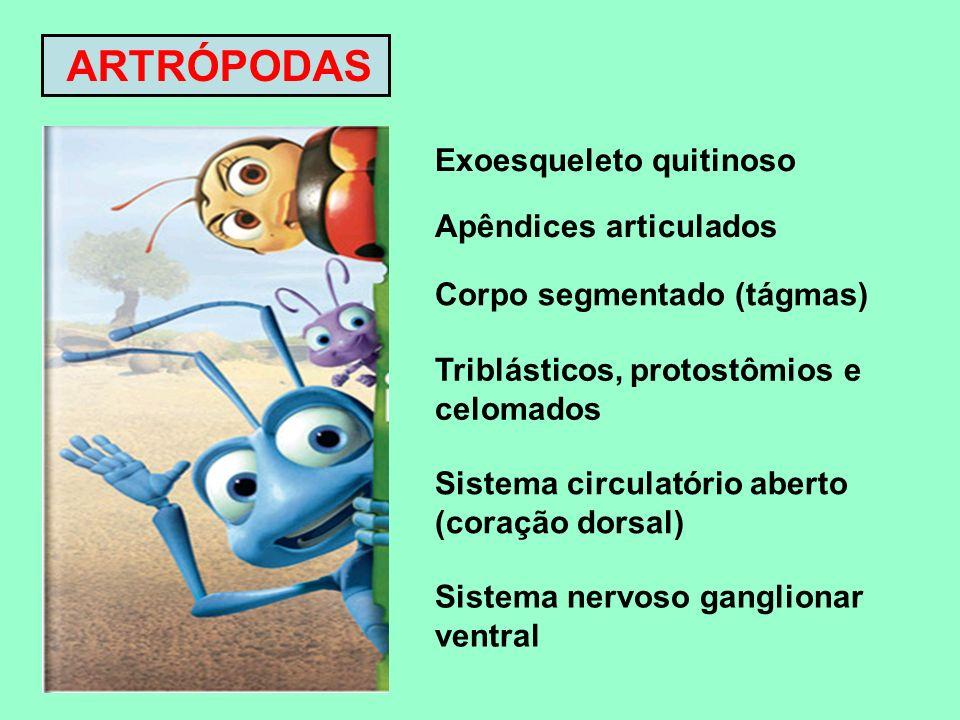 ARTRÓPODAS Exoesqueleto quitinoso Apêndices articulados Corpo segmentado (tágmas) Triblásticos, protostômios e celomados Sistema circulatório aberto (