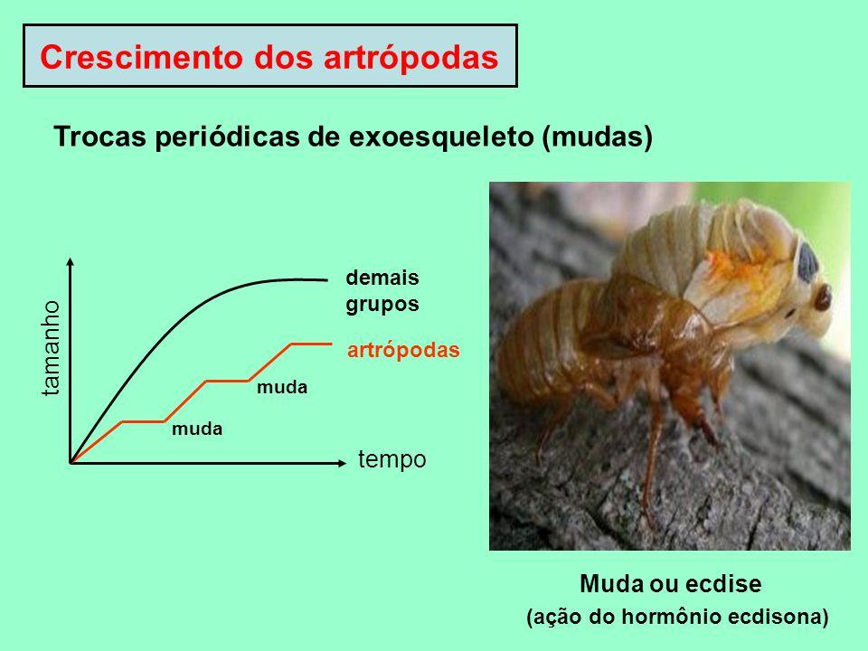 Crescimento dos artrópodas tamanho tempo muda artrópodas demais grupos Muda ou ecdise (ação do hormônio ecdisona) Trocas periódicas de exoesqueleto (m