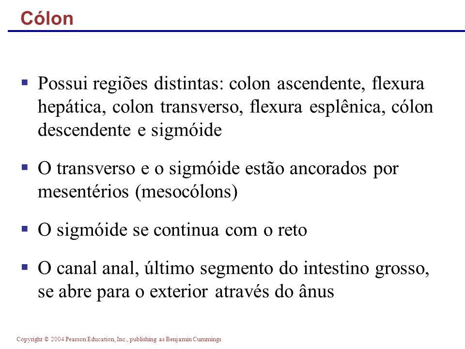 Copyright © 2004 Pearson Education, Inc., publishing as Benjamin Cummings Cólon Possui regiões distintas: colon ascendente, flexura hepática, colon tr