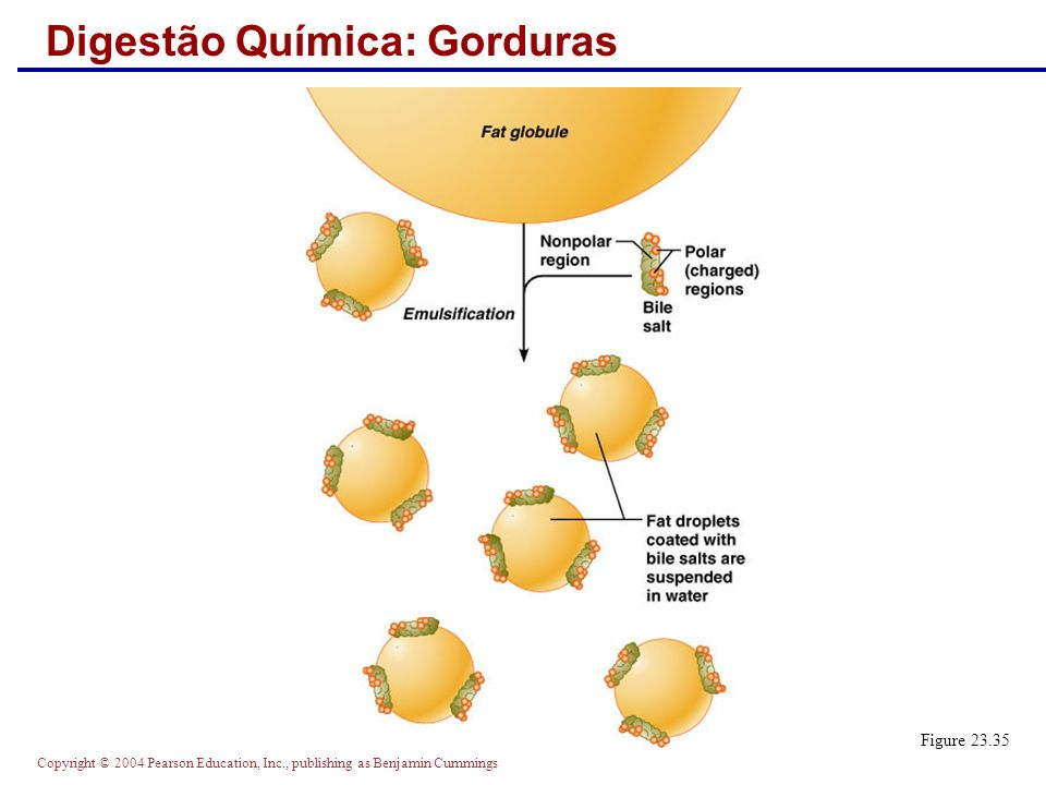 Copyright © 2004 Pearson Education, Inc., publishing as Benjamin Cummings Digestão Química: Gorduras Figure 23.35