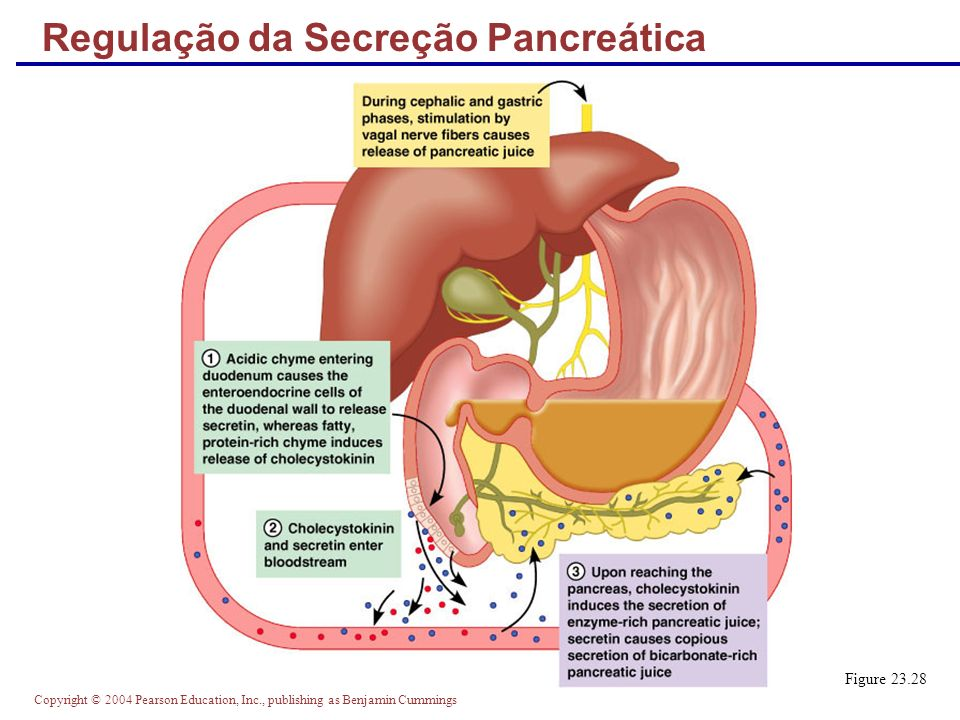 Copyright © 2004 Pearson Education, Inc., publishing as Benjamin Cummings Regulação da Secreção Pancreática Figure 23.28
