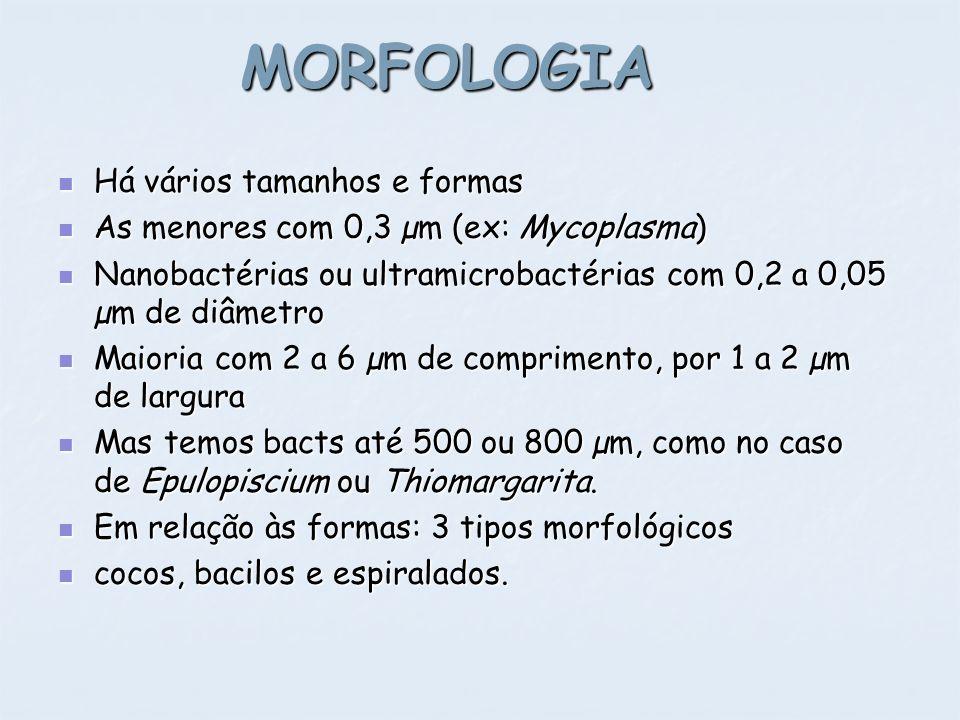 MORFOLOGIA Há vários tamanhos e formas Há vários tamanhos e formas As menores com 0,3 µm (ex: Mycoplasma) As menores com 0,3 µm (ex: Mycoplasma) Nanob