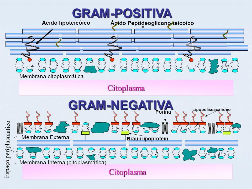 GRAM-POSITIVA GRAM-NEGATIVA Citoplasma Citoplasma Ácido lipoteicóico Ácido Peptideoglicano-teicoico Membrana citoplasmática Membrana Interna (citoplas