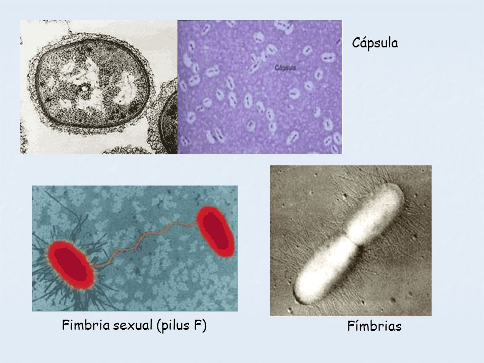 Fimbria sexual (pilus F) Cápsula Fímbrias