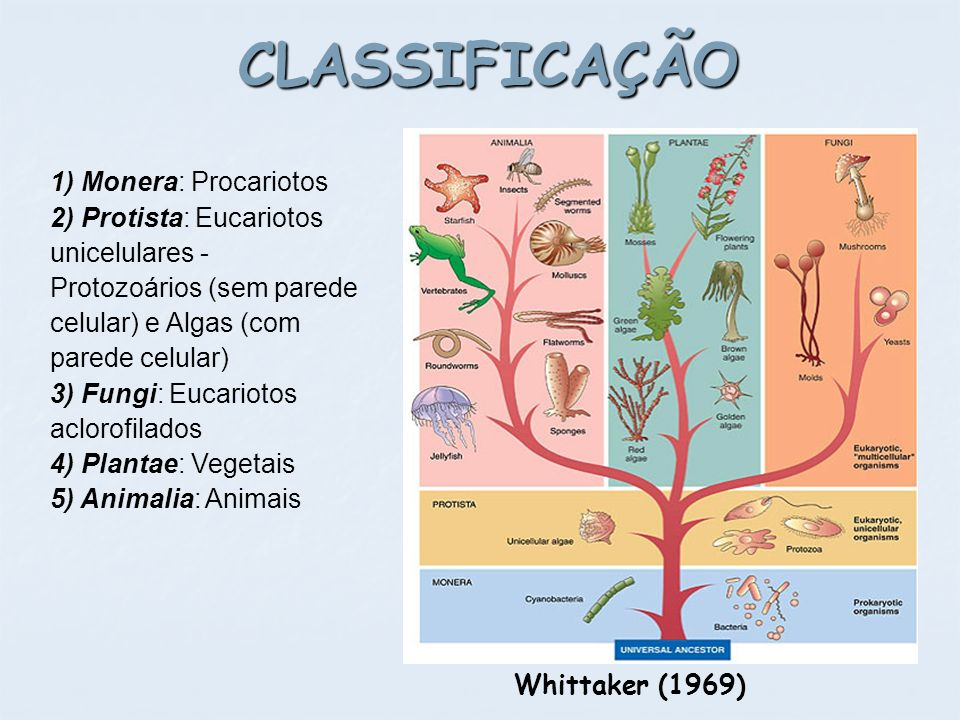 CLASSIFICAÇÃO Whittaker (1969) 1) Monera: Procariotos 2) Protista: Eucariotos unicelulares - Protozoários (sem parede celular) e Algas (com parede cel