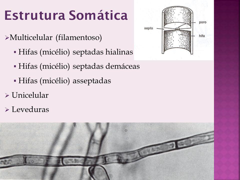 Multicelular (filamentoso) Hifas (micélio) septadas hialinas Hifas (micélio) septadas demáceas Hifas (micélio) asseptadas Unicelular Leveduras