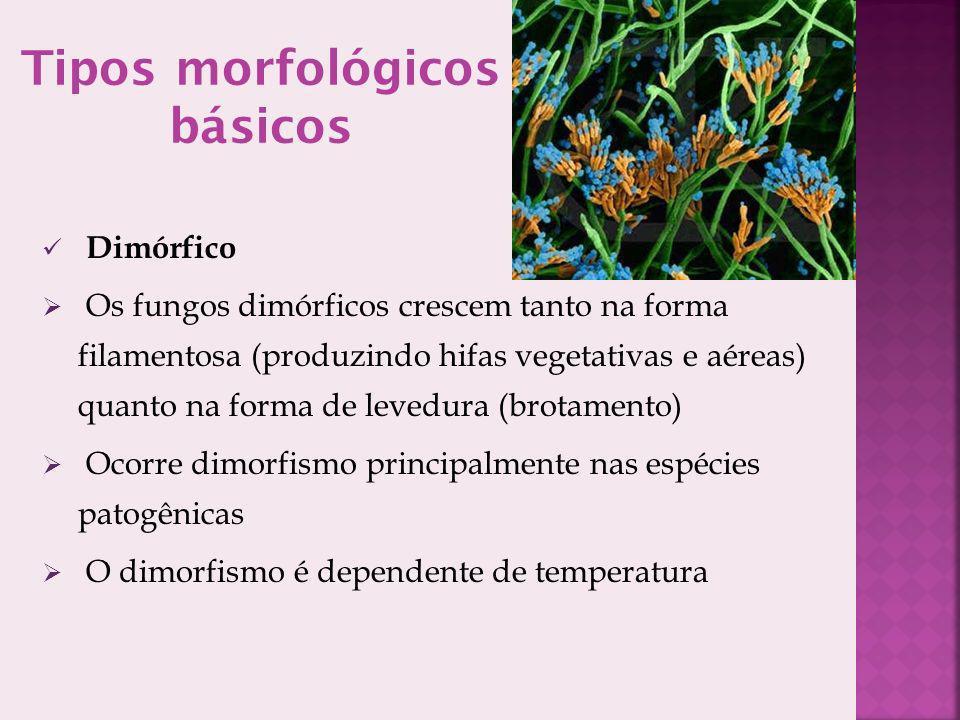 Tipos morfológicos básicos Dimórfico Os fungos dimórficos crescem tanto na forma filamentosa (produzindo hifas vegetativas e aéreas) quanto na forma de levedura (brotamento) Ocorre dimorfismo principalmente nas espécies patogênicas O dimorfismo é dependente de temperatura
