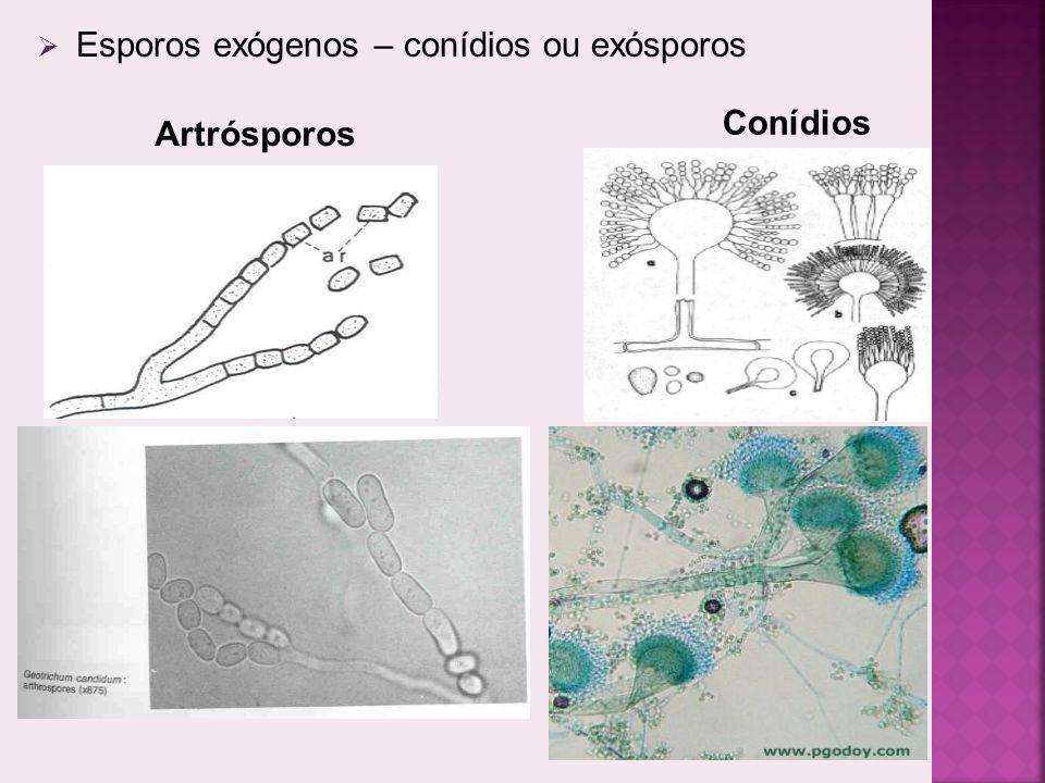Esporos exógenos – conídios ou exósporos Artrósporos Conídios