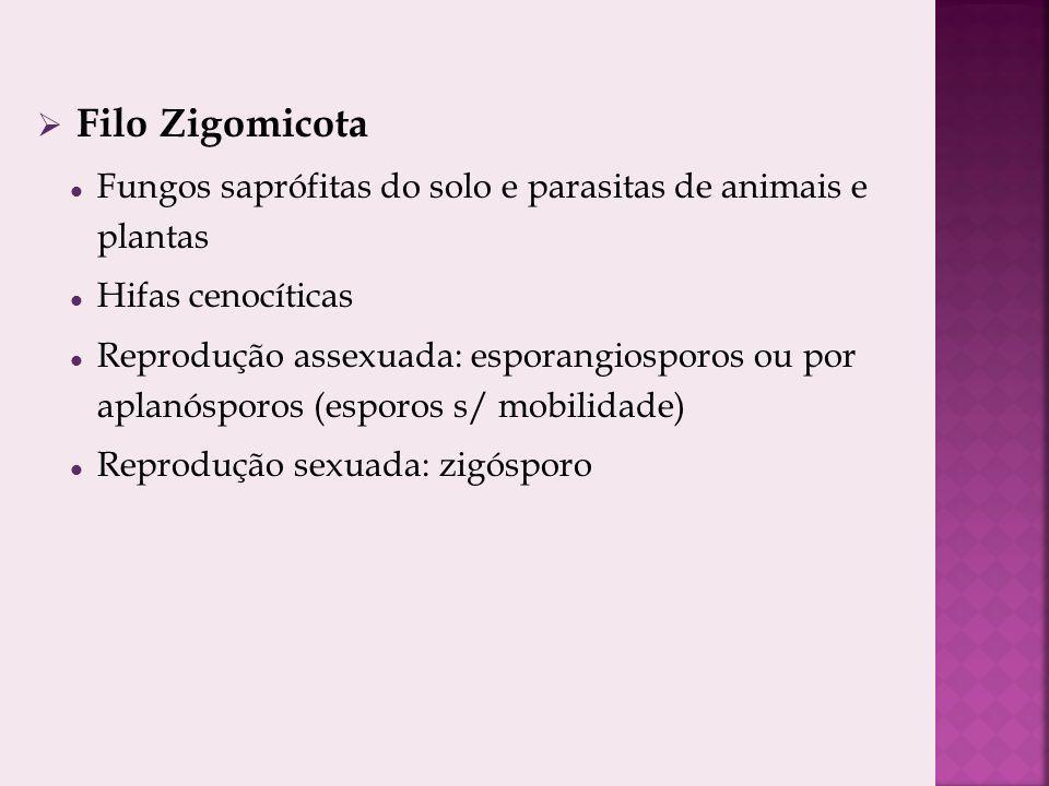 Filo Zigomicota Fungos saprófitas do solo e parasitas de animais e plantas Hifas cenocíticas Reprodução assexuada: esporangiosporos ou por aplanósporos (esporos s/ mobilidade) Reprodução sexuada: zigósporo