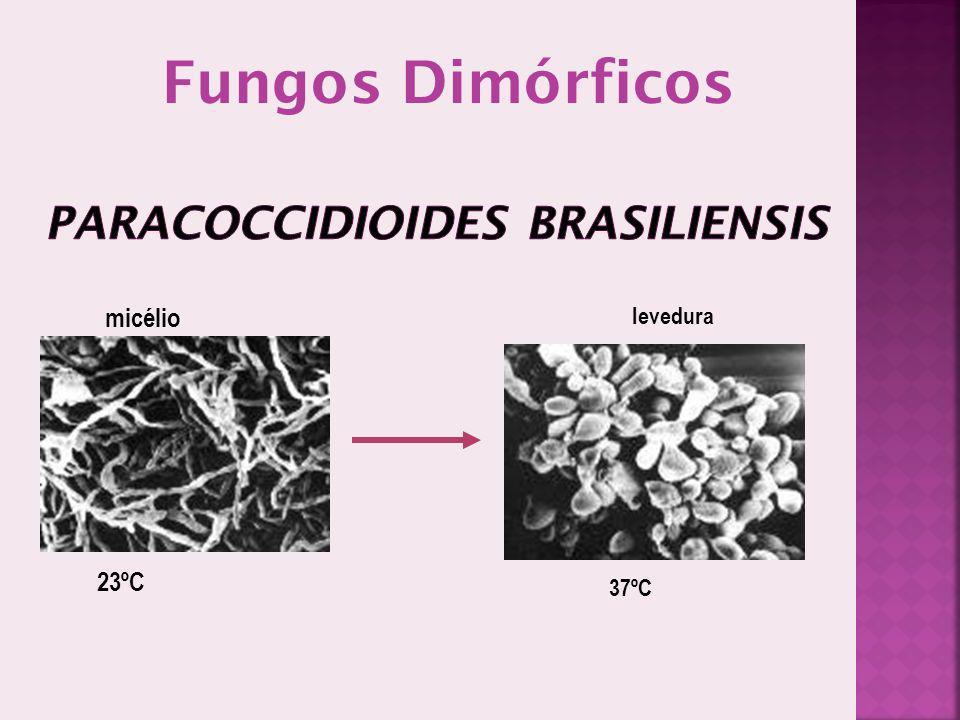 23ºC 37ºC micélio levedura Fungos Dimórficos
