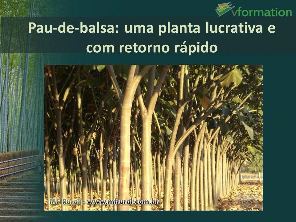 Pau-de-balsa: uma planta lucrativa e com retorno rápido