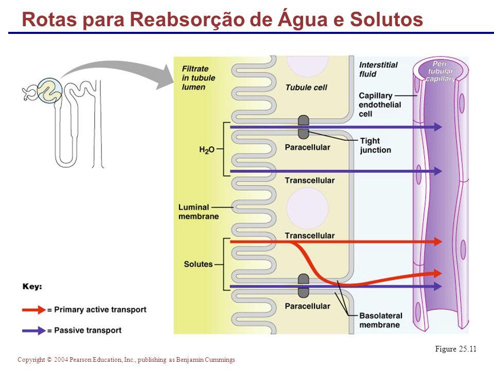 Copyright © 2004 Pearson Education, Inc., publishing as Benjamin Cummings Mecanismo de Contracorrente É a interação entre o fluxo do filtrado através da dos ramos da alça de henle (multiplicador de contracorrente) e o fluxo sanguíneo nos capilares ao redor da alça (vasa reta) (trocador de contracorrente) A concentração de solutos ao longo da alça de Henle varia entre 300 mOsm e 1200 mOsm A dissipação do gradiente osmótico medular é evitado porque o sangue da vasa reta equilibra-se com o fluído intersticial