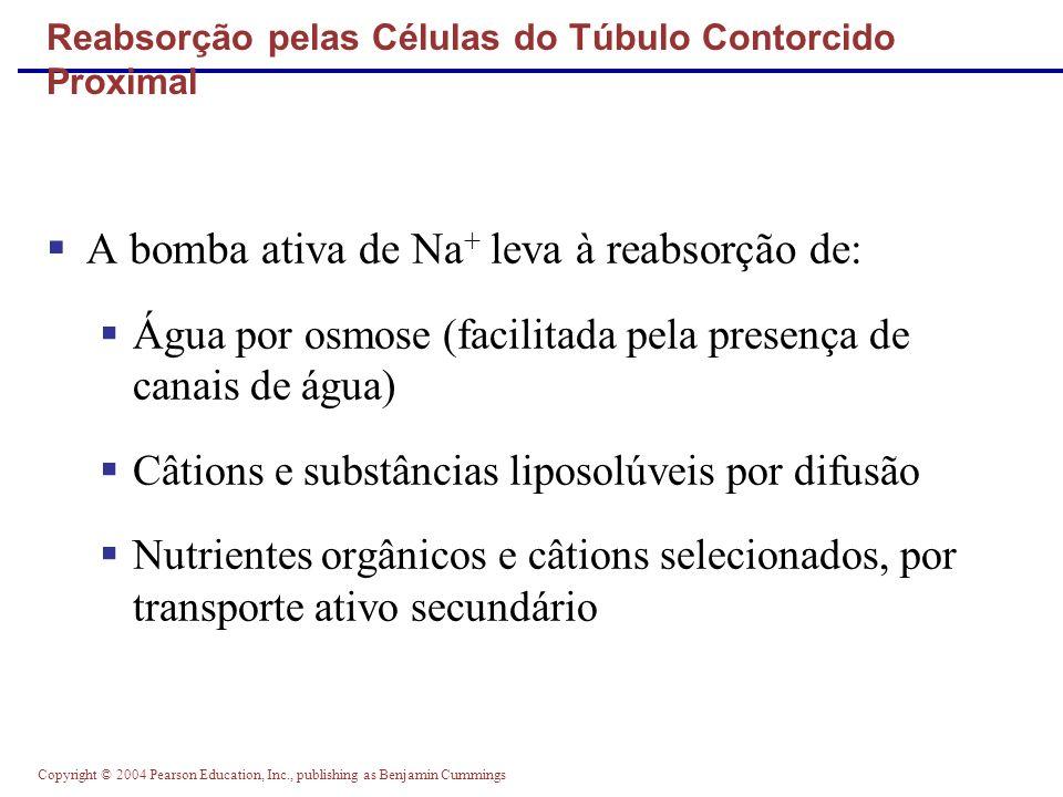 Copyright © 2004 Pearson Education, Inc., publishing as Benjamin Cummings Gradiente Osmótico na Medula Renal Figure 25.13