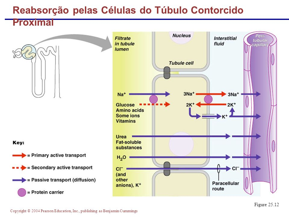 Copyright © 2004 Pearson Education, Inc., publishing as Benjamin Cummings Reabsorção pelas Células do Túbulo Contorcido Proximal Figure 25.12