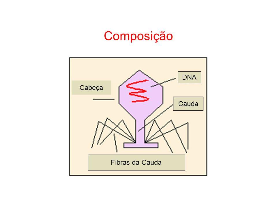 Composição Fibras da Cauda Cauda DNA Cabeça