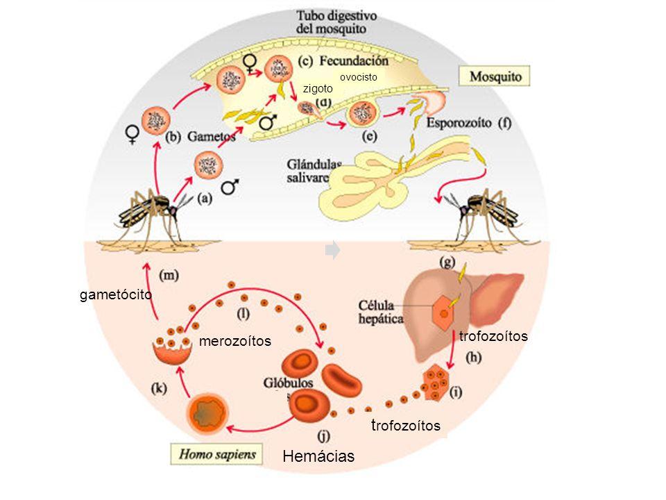 trofozoítos gametócito t rofozoítos merozoítos Hemácias zigoto ovocisto