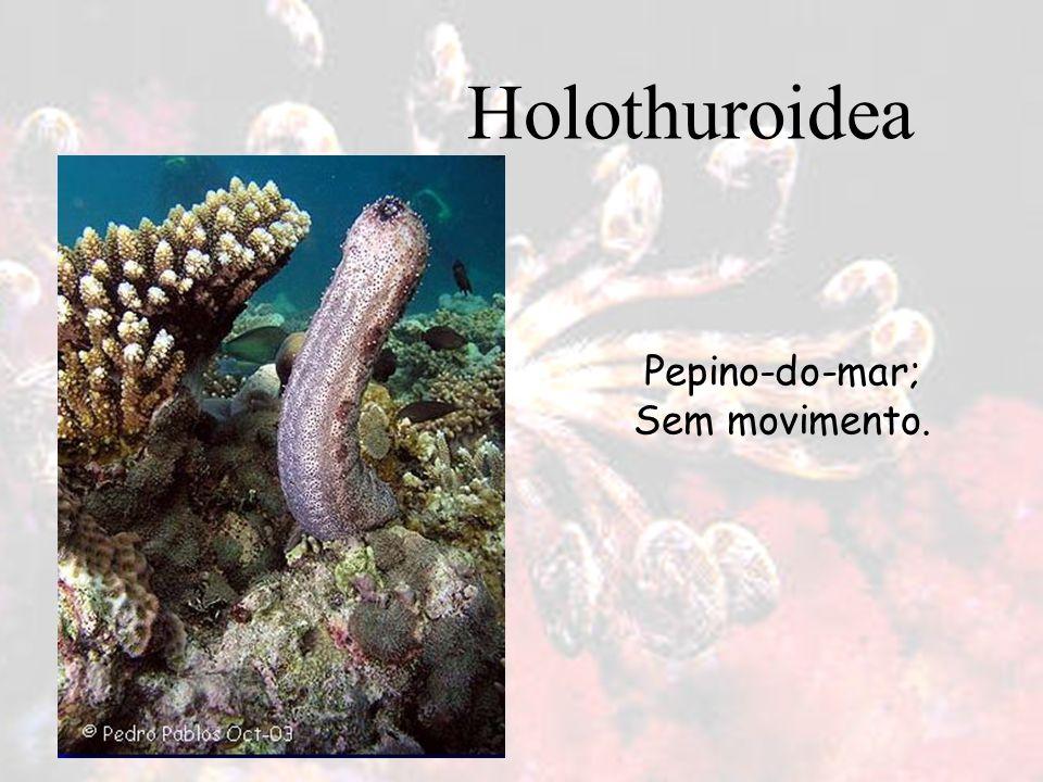 Pepino-do-mar; Sem movimento. Holothuroidea
