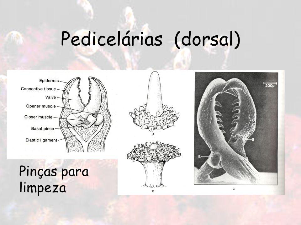 Pedicelárias (dorsal) Pinças para limpeza