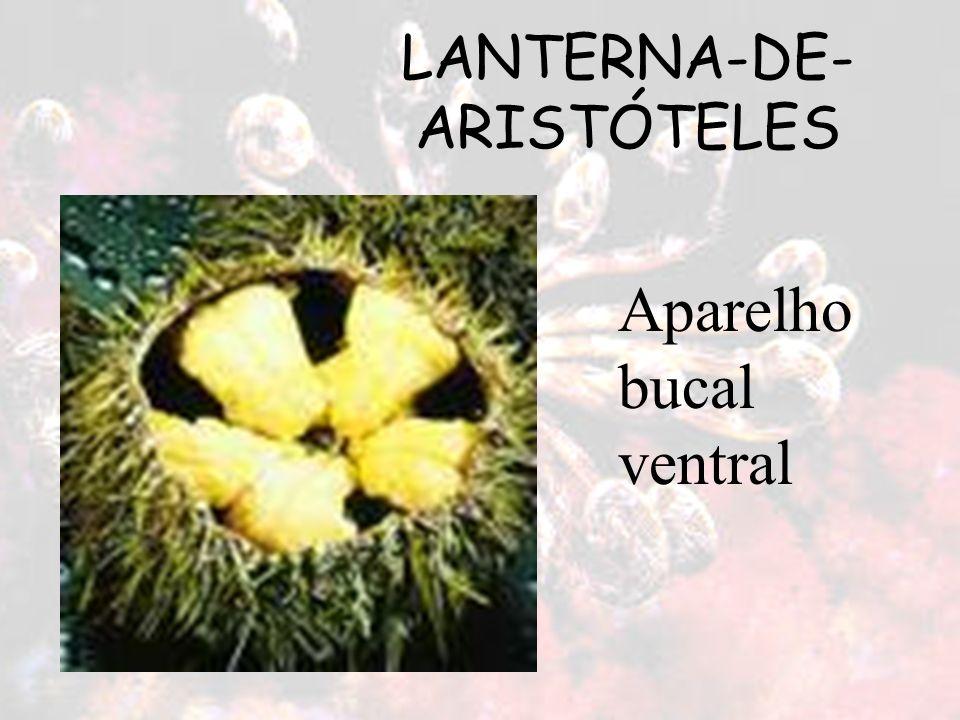 LANTERNA-DE- ARISTÓTELES Aparelho bucal ventral