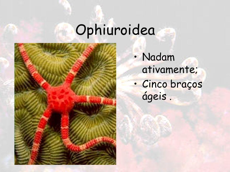 Ophiuroidea Nadam ativamente; Cinco braços ágeis.