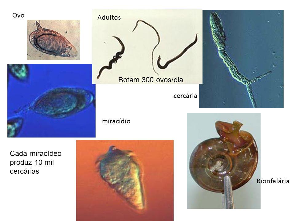 Barriga dágua Profilaxia Saneamento básico; Educação sanitária; Evitar nadar em lagoas com caramujos.