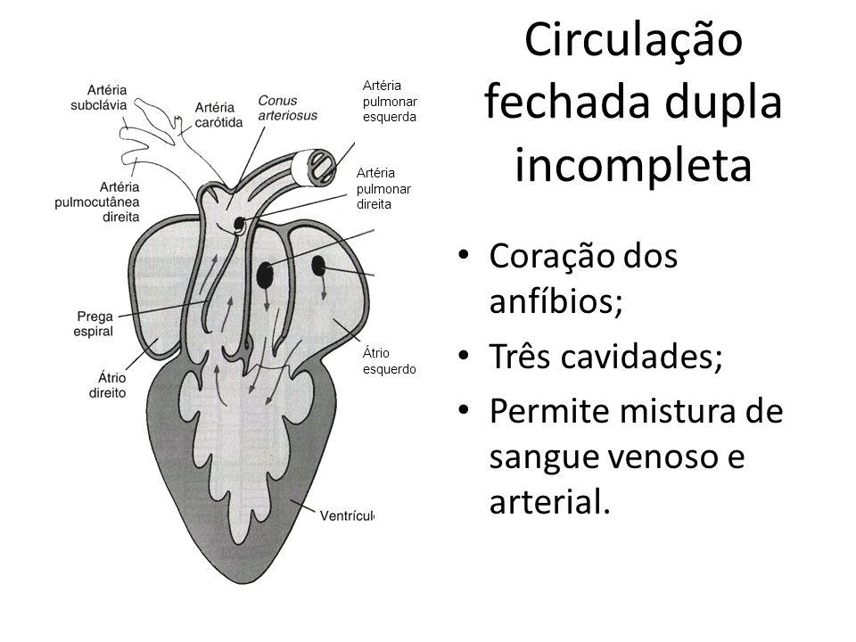 Circulação fechada dupla incompleta Coração dos anfíbios; Três cavidades; Permite mistura de sangue venoso e arterial. Artéria pulmonar esquerda Artér