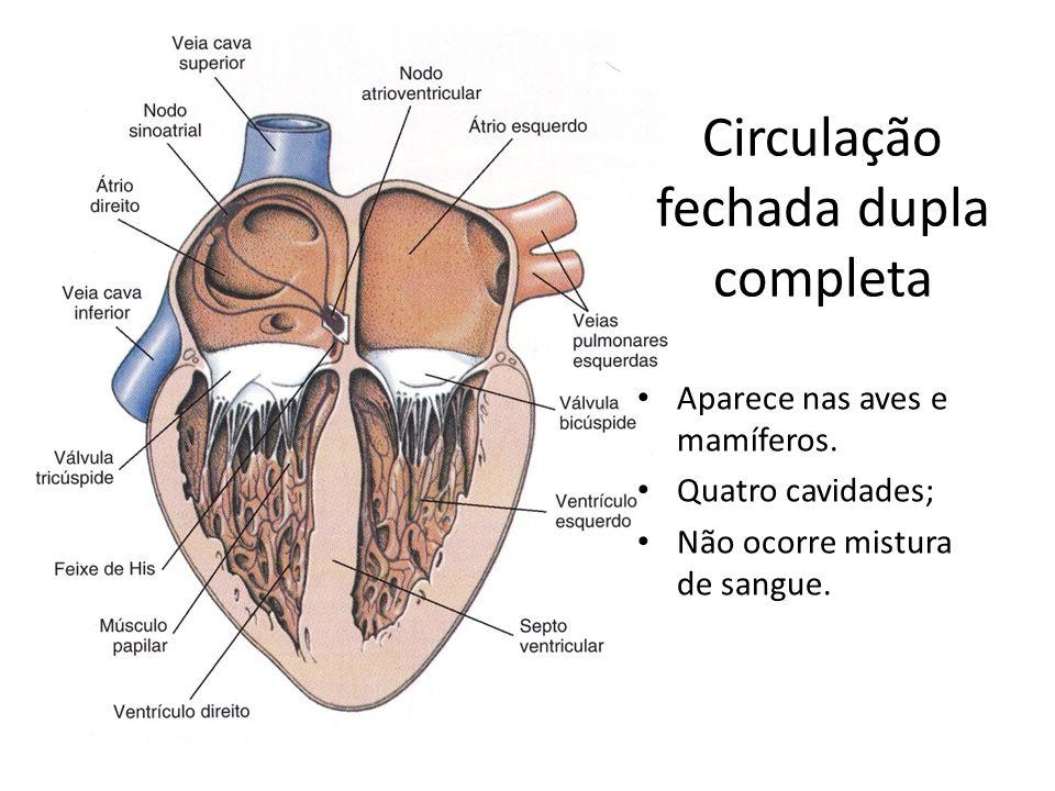Circulação fechada dupla completa Aparece nas aves e mamíferos. Quatro cavidades; Não ocorre mistura de sangue.