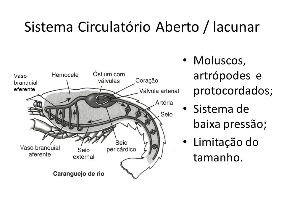 Sistema Circulatório Aberto / lacunar Vaso branquial eferente Moluscos, artrópodes e protocordados; Sistema de baixa pressão; Limitação do tamanho.