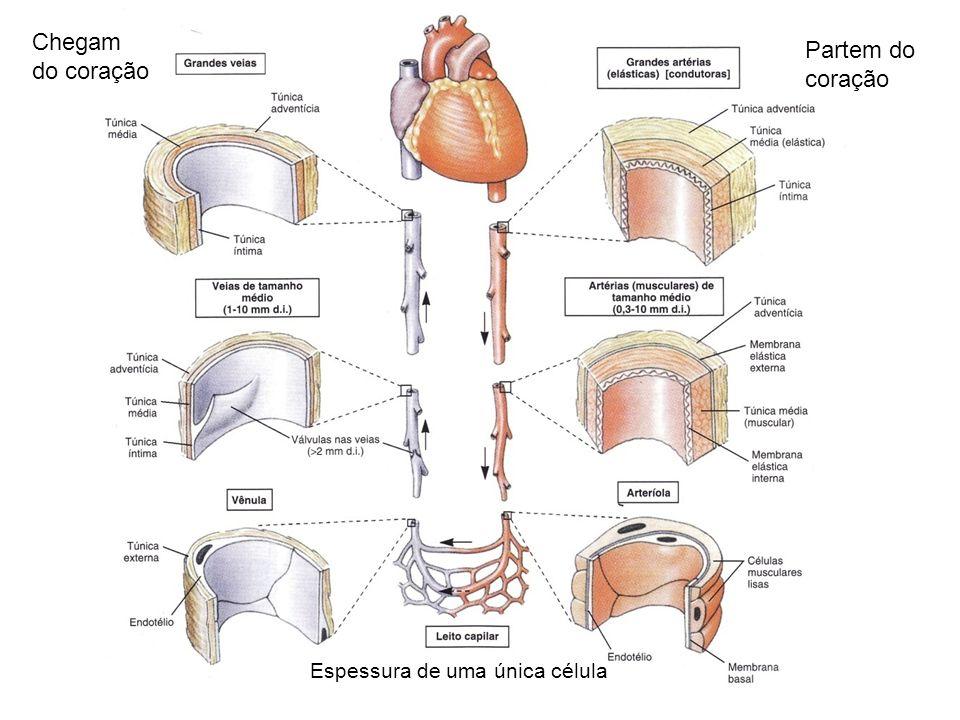 Partem do coração Chegam do coração Espessura de uma única célula