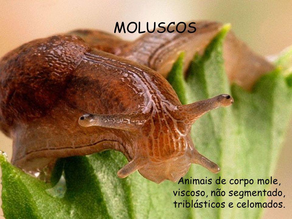 MOLUSCOS Animais de corpo mole, viscoso, não segmentado, triblásticos e celomados.